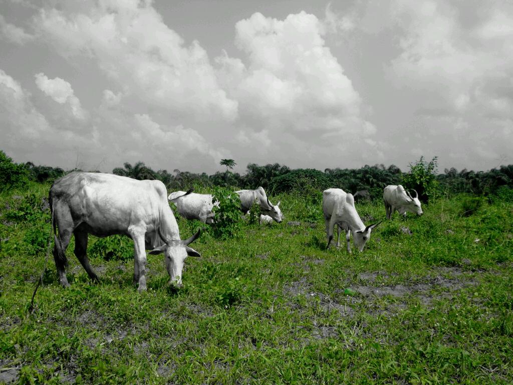 Benue State Governor, Samuel Ortom Apprehends 150 Cows in Makurdi, the State Capital